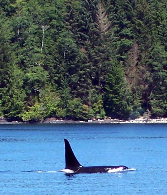 Orca (Killer) Whale in Telegraph Cove via Flickr