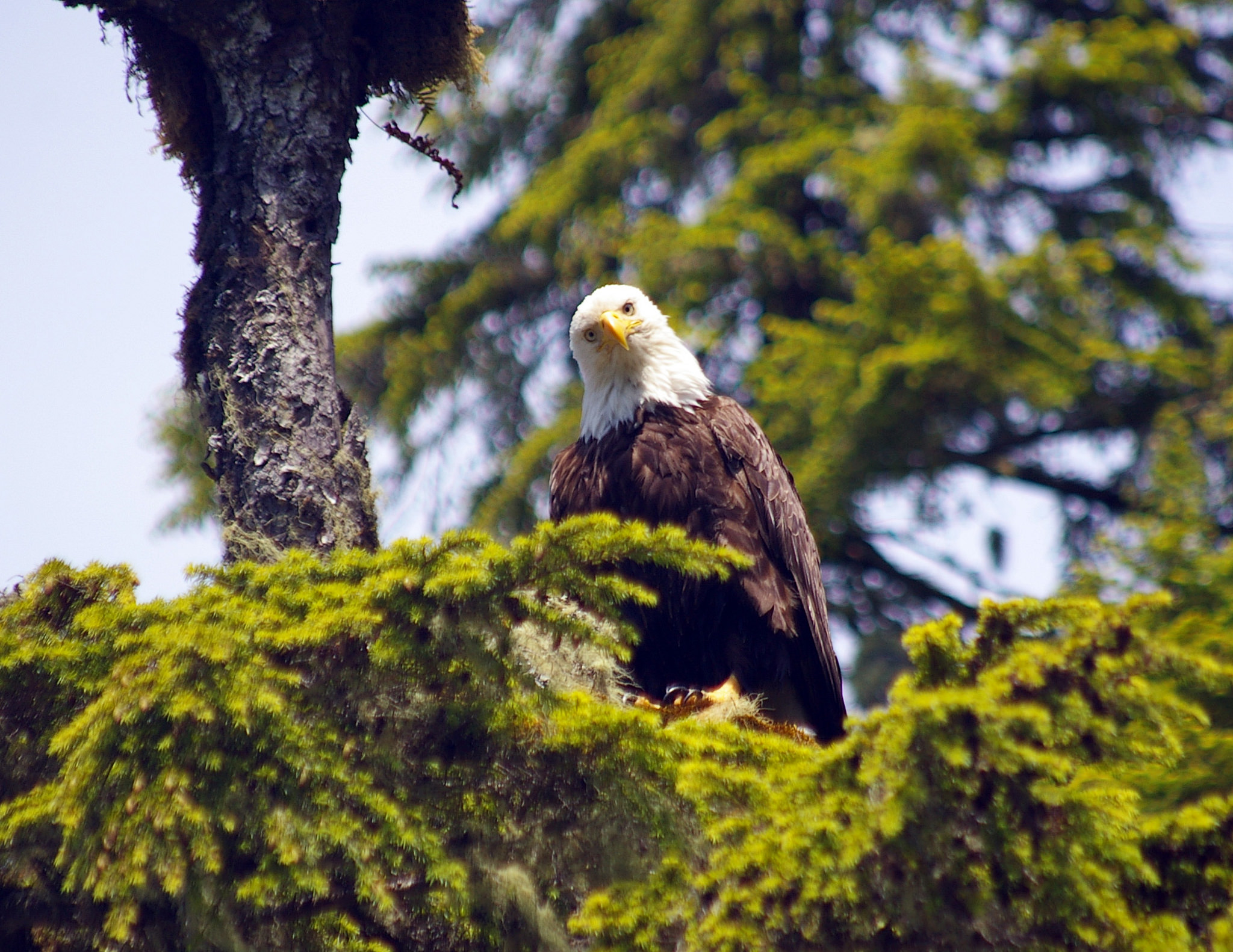 Bald Eagle, Ucluelet, Province of BC