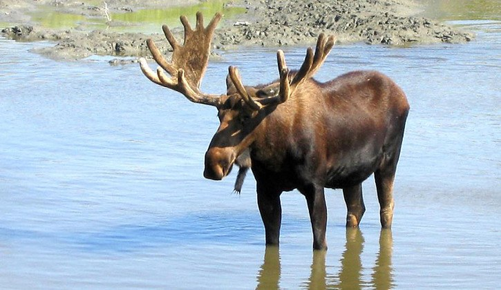 Moose. Photo Eagle Valley News, Sicamous