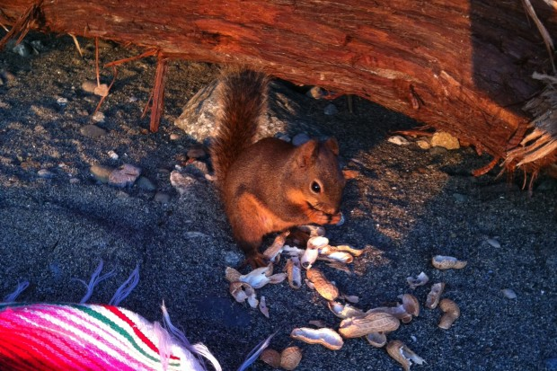 Native Red Squirrel