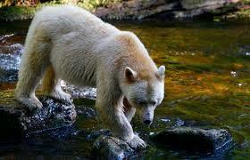 Visiting the Kermode Bear, BC Wildlife Centre, Kamloops, British Columbia