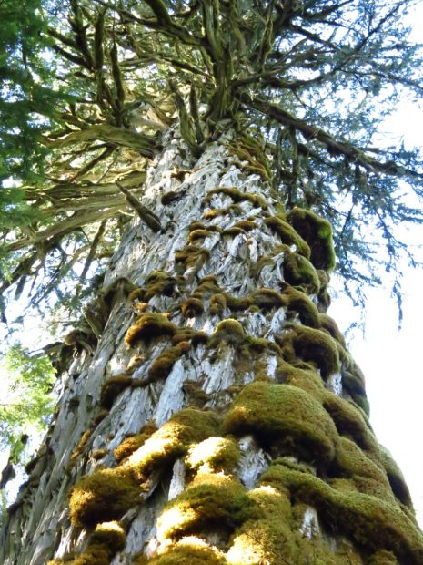 Largest Yellow Cedar