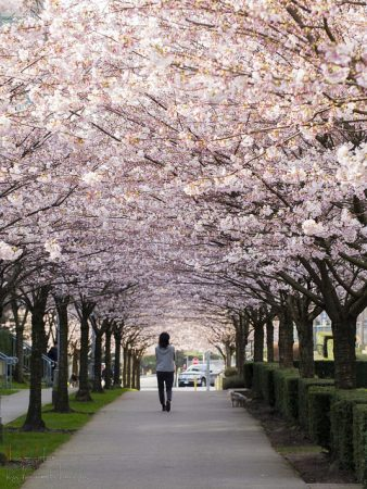 Cherry Blossoms in Vancouver. Photo: Kenneth Leung via Flickr