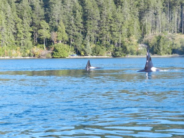 Orcas Drop By While Fishing