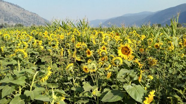 Sunflowers near Grand Forks BC. Photo Robert Linden