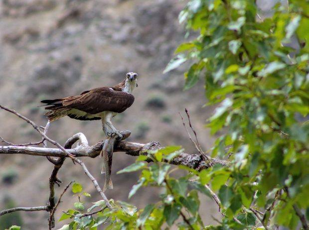 A hawk with a fish at the Kumsheen Rafting Resort in Lytton.
