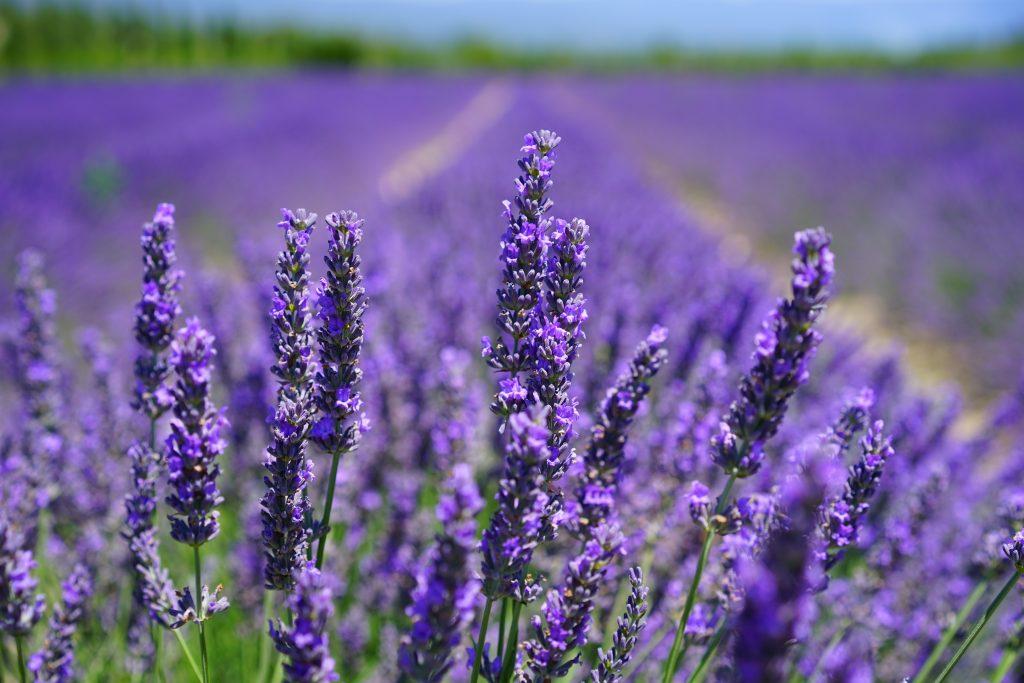 Lavender Blooming in Aldergrove