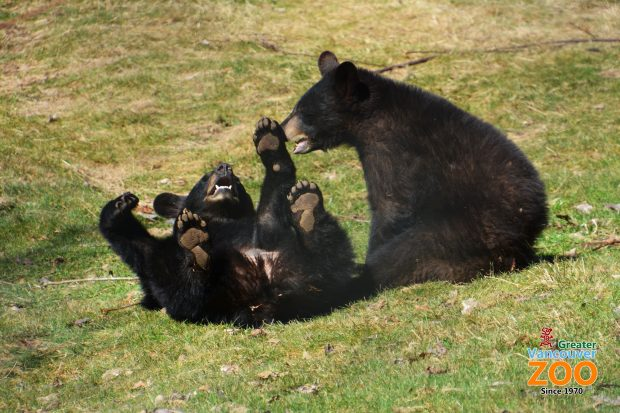2 Bear cubs at the Vancouver Greater Zoo