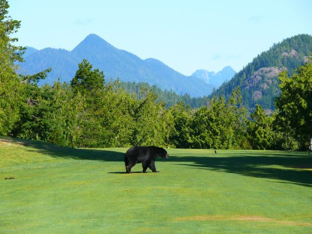 A Bear on the Long Beach Golf Course in Tofino.