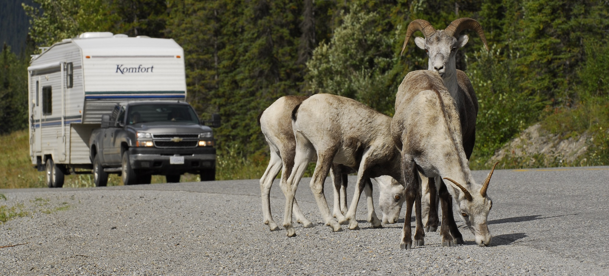 Mountain goats on the road