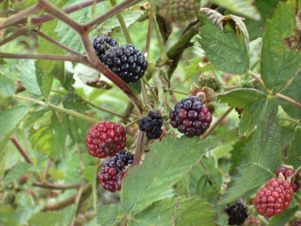 Blackberry Bush. Photo Philip Miseldine via Flickr