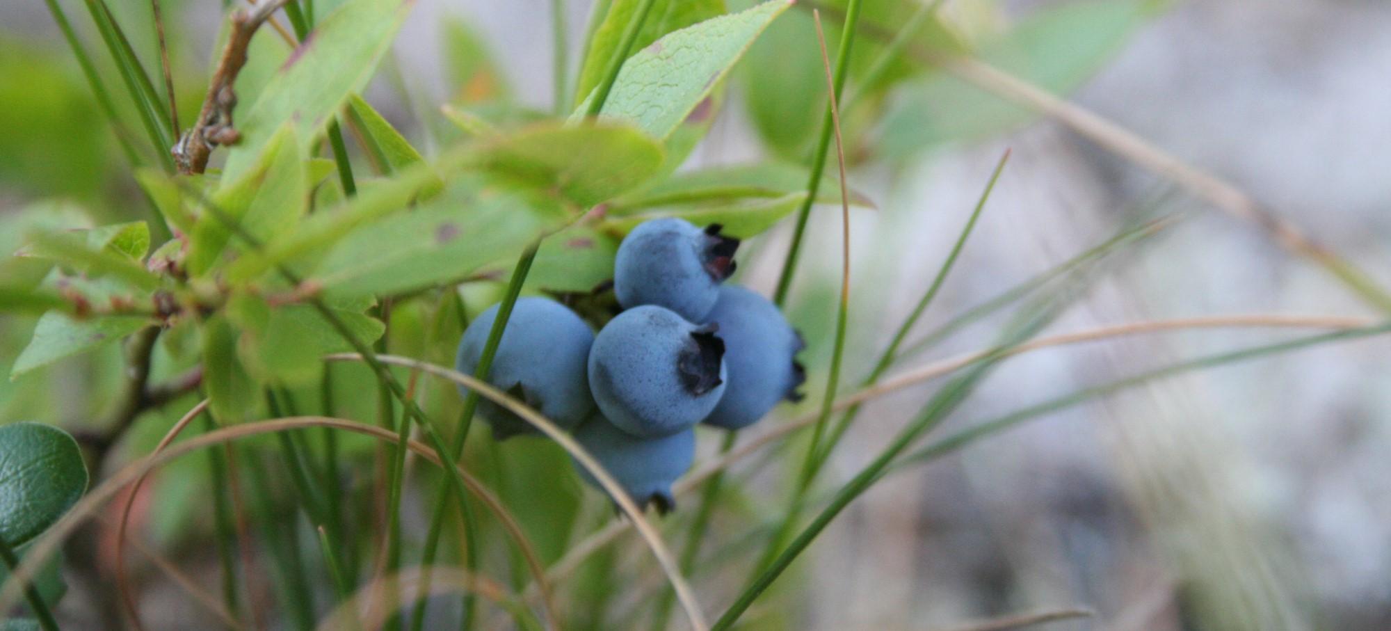 5 Popular Edible Berries & Plants in British Columbia