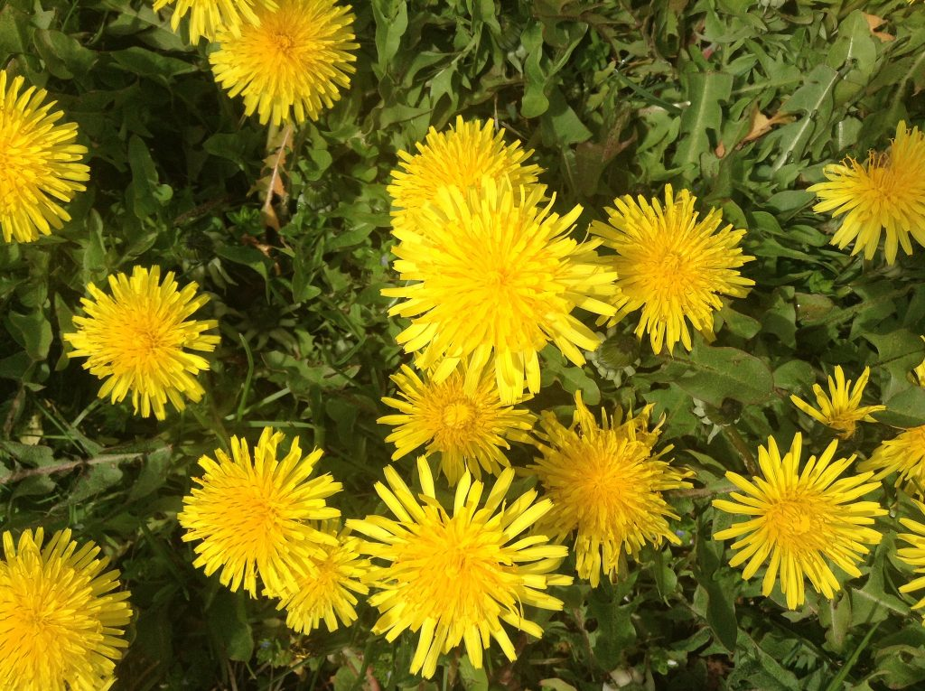 Dandelions. Photo Mike Mozart via Flickr