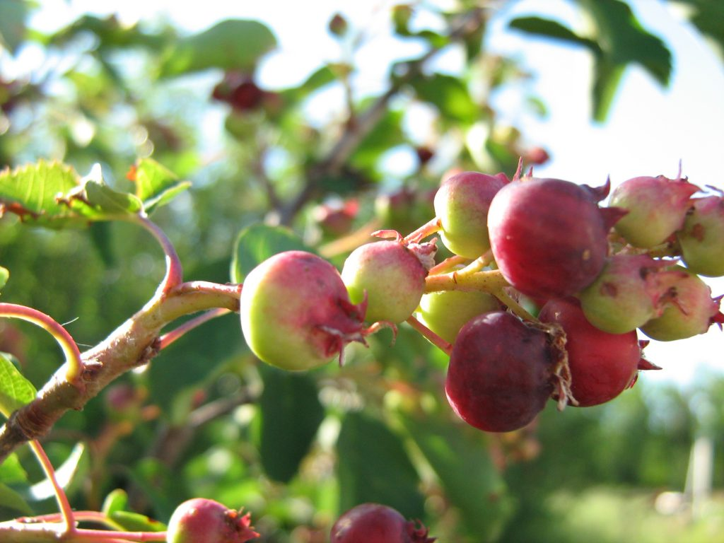 Saskatoon Berries. Photo CreeHawk via Flickr