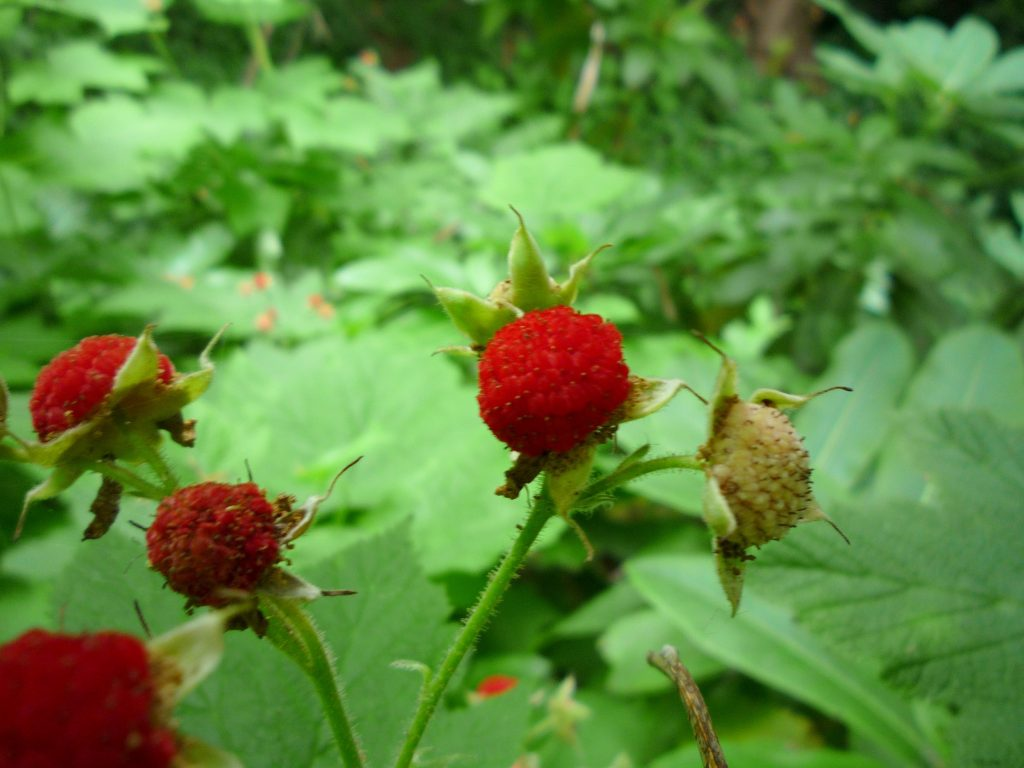 Thimbleberry. Photo. Photo Jason Taellious via Flickr