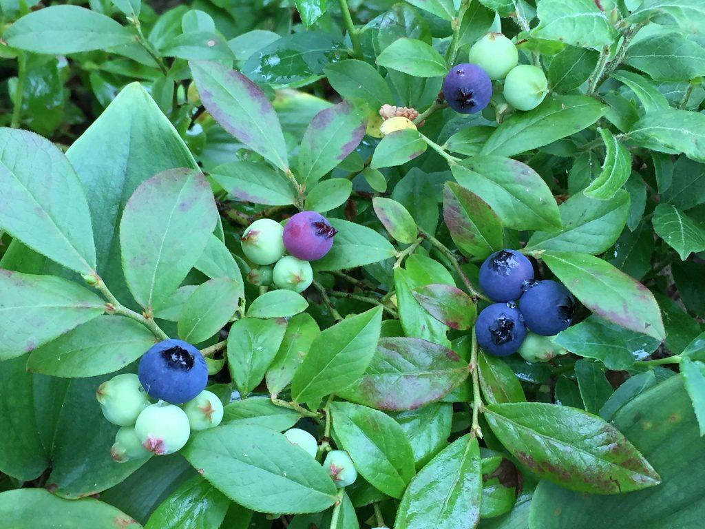 Wild Blueberries. Photo Julie Falk via Flickr