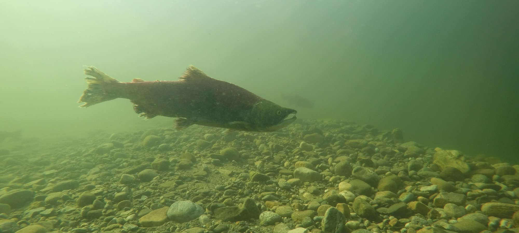 Tsútswecw Provincial Park on Shuswap Lake, BC: Come for the Salmon Spawning & the Fall Colours